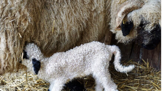 Mother sheep feeding little lamb